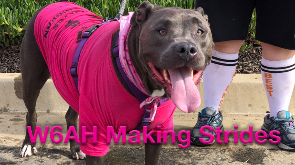 """Blue"", a grey Pit Bull smiles while wearing a pink t-shirt."